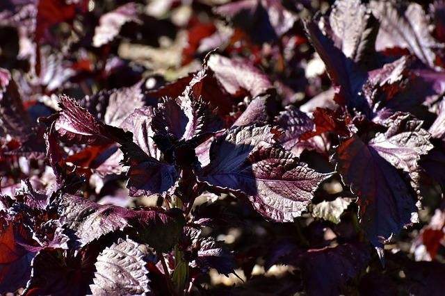 purple japanese basil, aka shiso or perilla