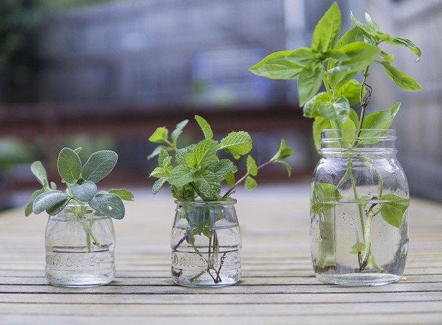 basil cuttings propagating in water