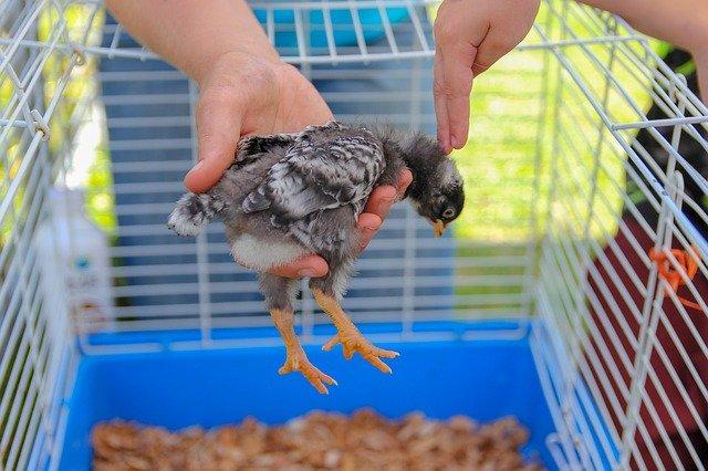 buy amprolium to treat coccidiosis in baby chicks