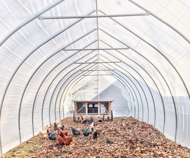 high tunnel that is doubling as a chicken coop in winter