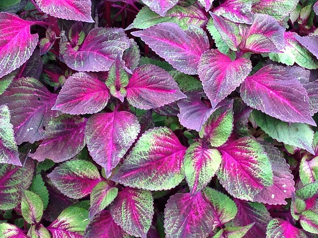 purple and green japanese basil, aka shiso or perilla