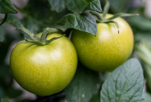 green tomatoes for pickled green tomatoes canning recipe