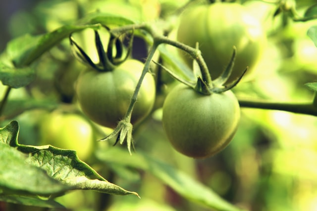 green tomatoes on the vine for pickling