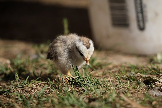 baby chick on the grass