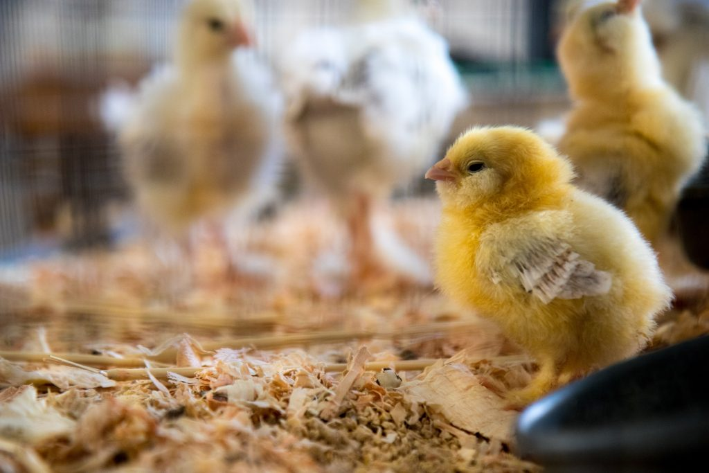 yellow baby chicks in a chicken brooder
