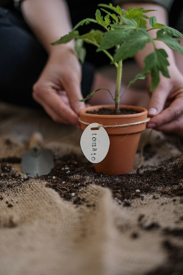 hands holding a potted tomato plant