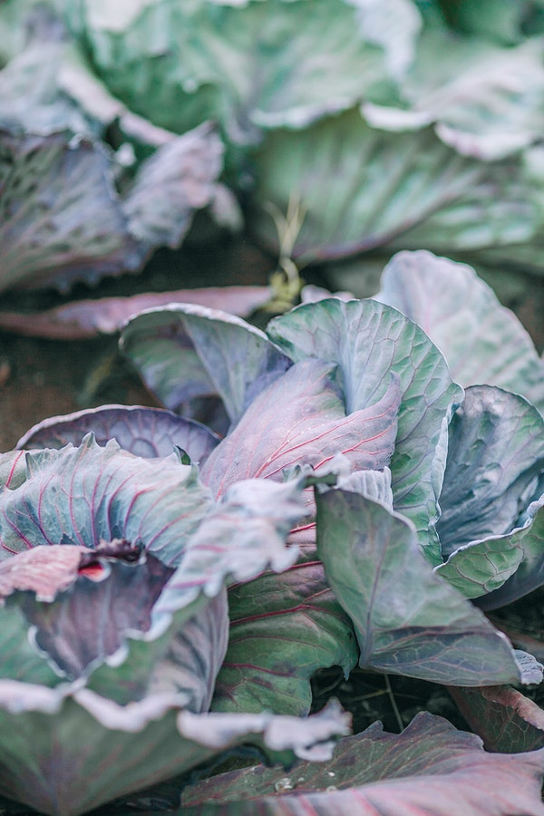 plants to start your homestead with cabbages