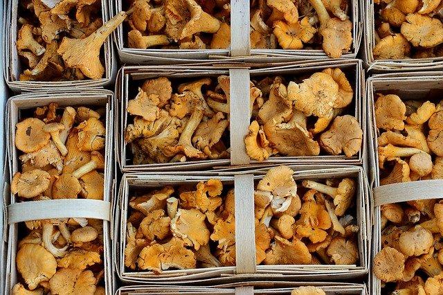 baskets of medicinal chanterelle mushrooms