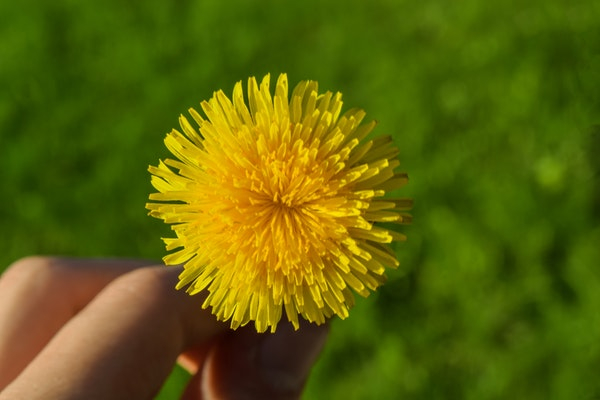 a dandelion fit to be eaten