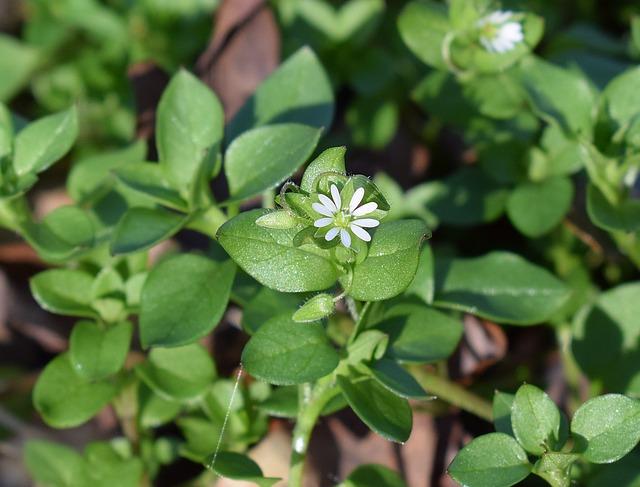 edible weed chickweed