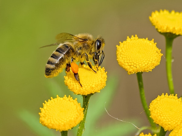 pollinator on a yellow flower