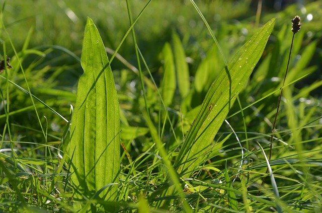 narrow leafed plantain for eating