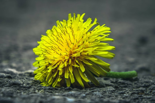 dandelion to be used in a dandelion wine recipe