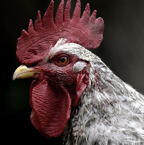 close up on a rooster's face with wattles and comb