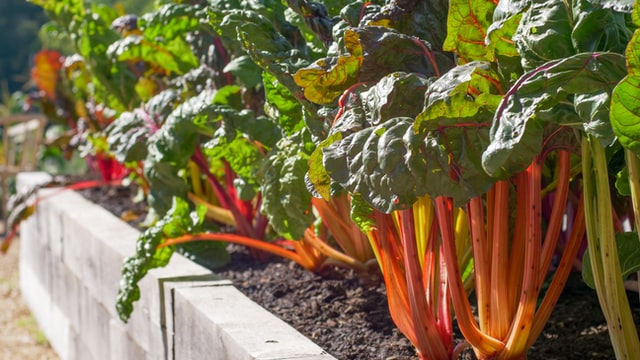 swiss chard in a square foot garden