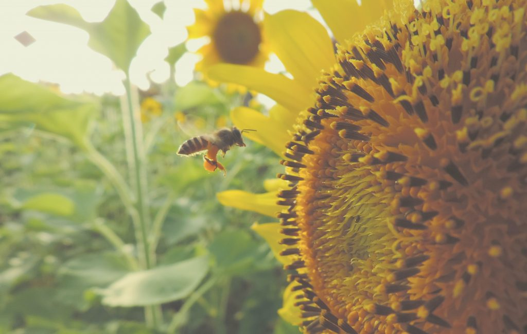 bubble bee and sunflower in the sunlight in a garden