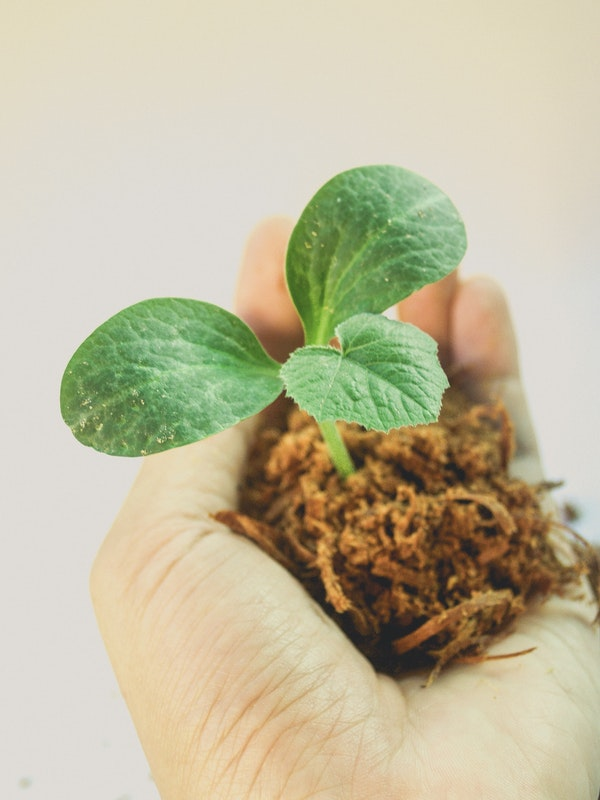 a hand holding a squash seedling