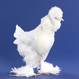 chicken breeds with feathered feet sultan
