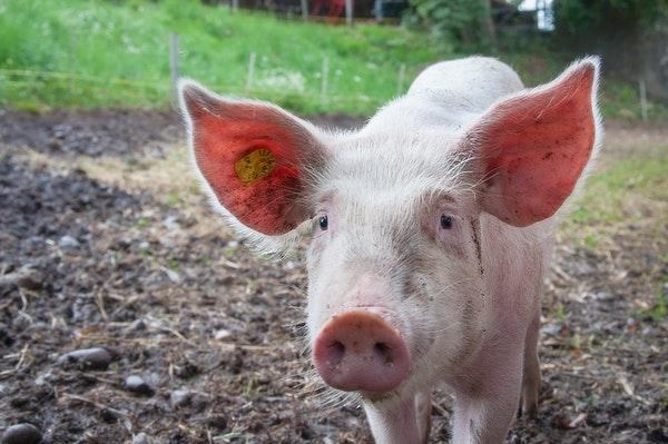 pig meat raised sustainably on pasture