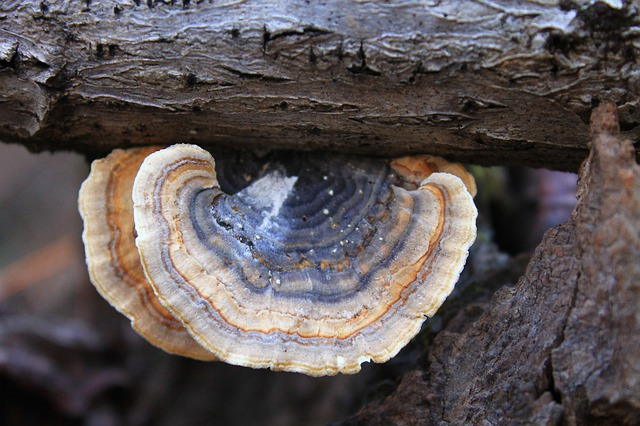 health benefits of turkey tail mushrooms