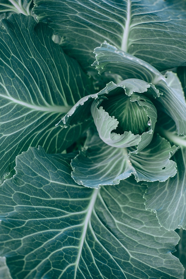 close up of cabbage head