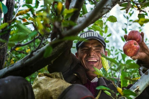 man in a tree harvesting fruit