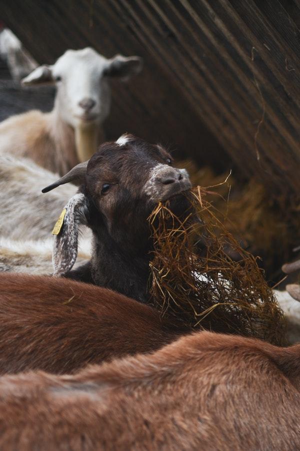selling goats milk