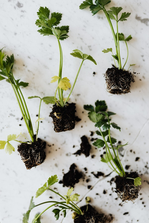 cilantro seedlings for sale