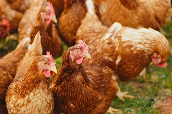 5 Beginner Tips for Raising Chickens in Your Backyard