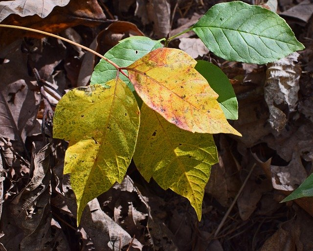 poison ivy turning yellow in the Fall