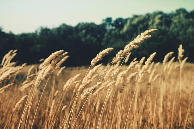 wheat on a homestead