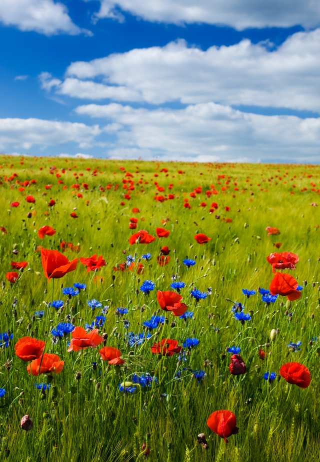 red and blue flowers in a remote area