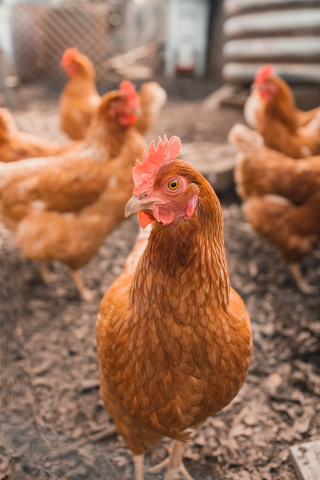 breeds of chickens that lay white eggs