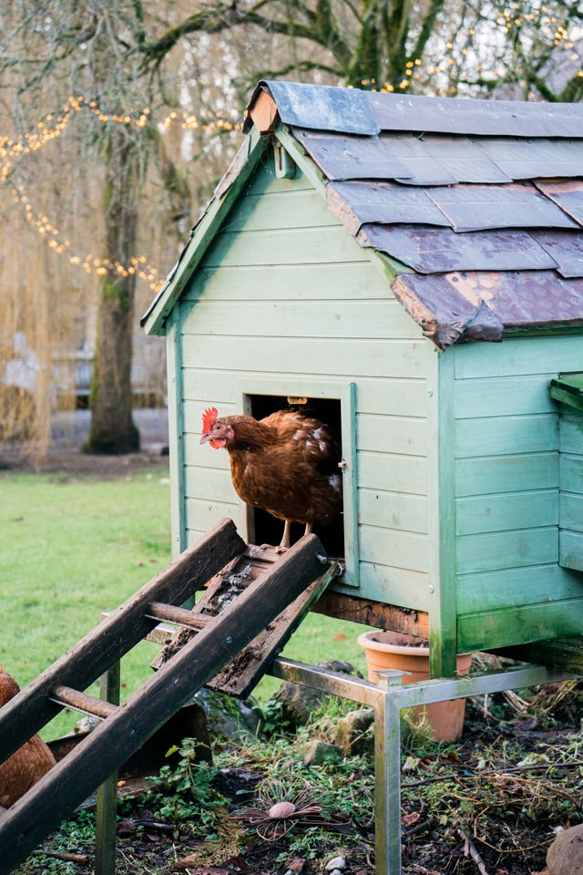 5 Breeds of Chickens That Lay White Eggs