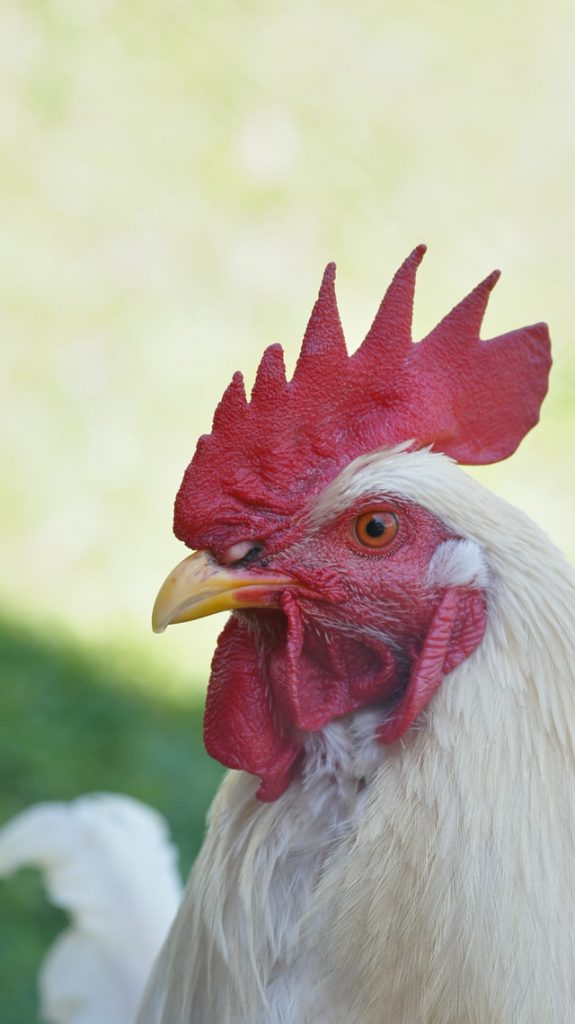 close up of a chicken that lays white eggs
