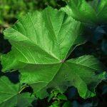 Medicinal Benefits of Marsh Mallow Root