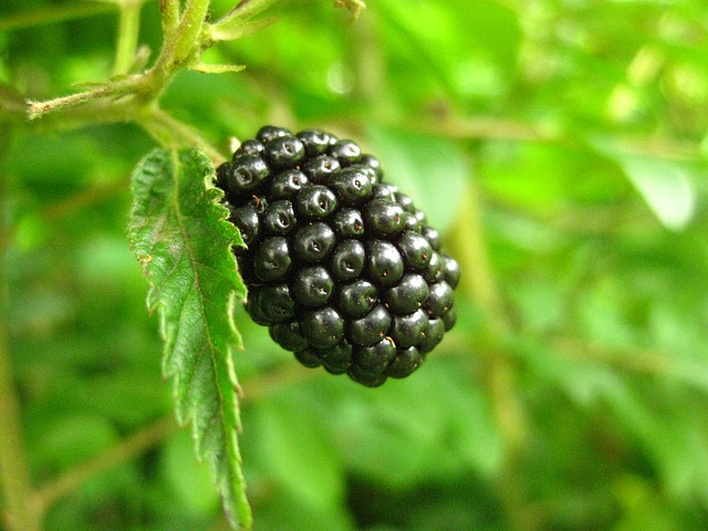 close up of a blackberry used for making jam