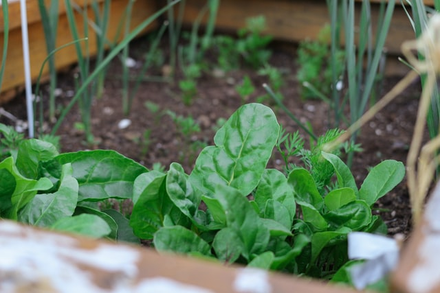 Spinach spacing for square foot gardening