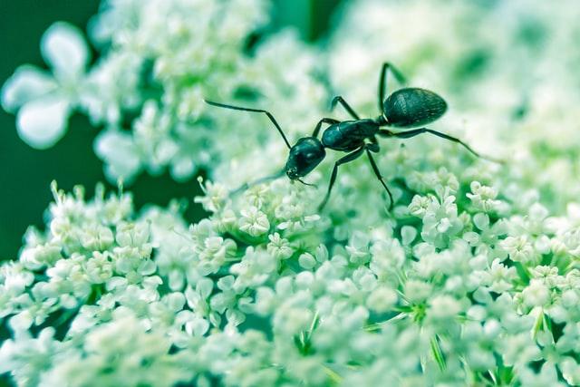 folk remedies for ant bites