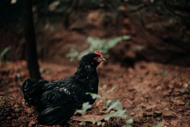 black chicken in the woods