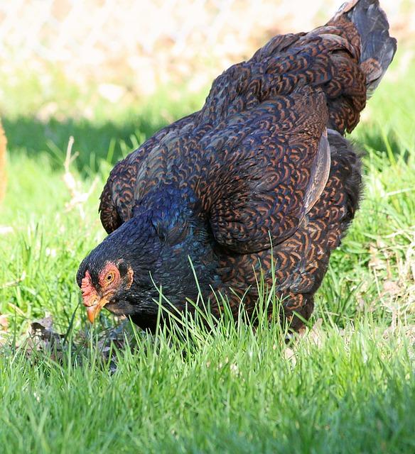 5 Largest Chicken Breeds in the World