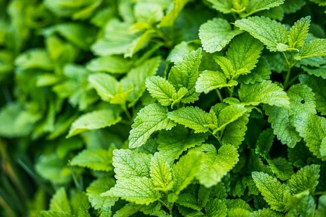 lemon balm as an herb safe for kids