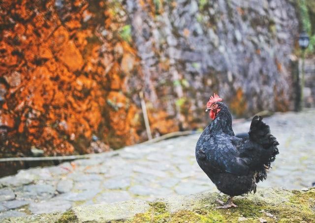 7 Black Chicken Breeds For Your Homestead